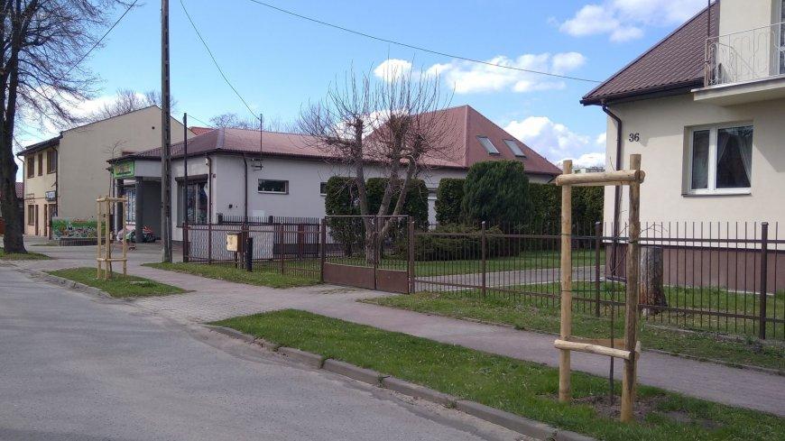 Młode drzewka posadzone w ul. Kościuszki.